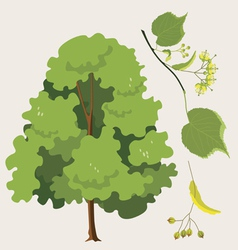 Linden tree vector