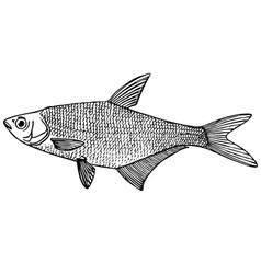 fish abramis ballerus blue bream vector image vector image