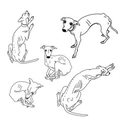 Set of skinny italian greyhounds vector