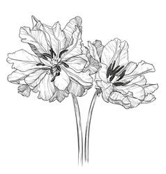Sketch of Blooming Tulips vector image vector image