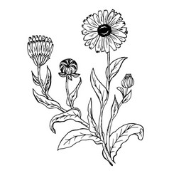 Doodle calendula officinalis plants drawn contour vector