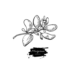 Marjoram hand drawn Isolated vector image