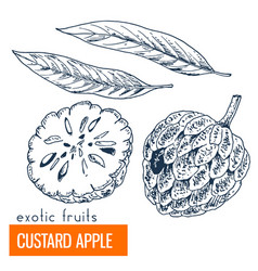 custard apple hand drawn vector image vector image
