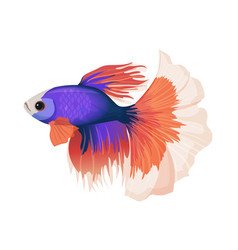 Betta small colorful freshwater ray-finned fish vector