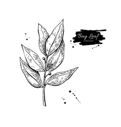 Bay leaf hand drawn isolated vector