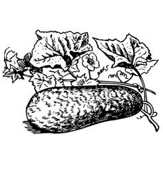 winter melon vector image