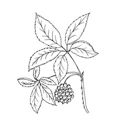 Doodle plants siberian ginseng vector