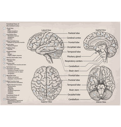 Anatomical diagram of human brain medicine vector