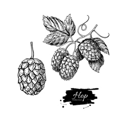 Hop plant drawing Hand drawn vector image