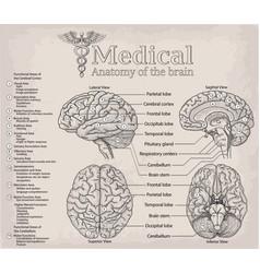 medical anatomy of human brain medicine vector image