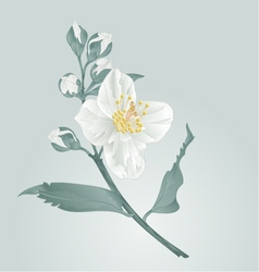 Flower twig jasmine flower and buds vector