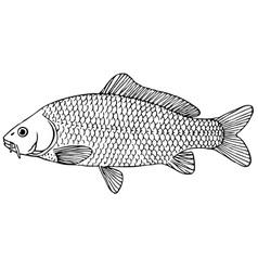 fish cyprinus carpio vector image vector image