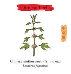 Medicinal herbs of china motherwort leonurus vector
