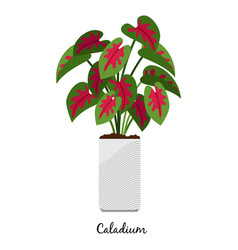 caladium plant in pot icon vector image vector image