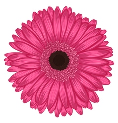 Pink gerbera isolated on white background vector