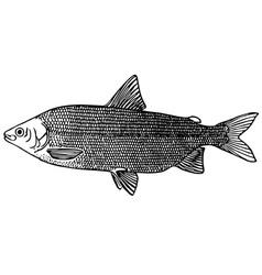 fish coregonus lavaretus maraenoides vector image vector image