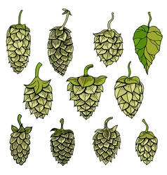 Hops visual graphic vector image