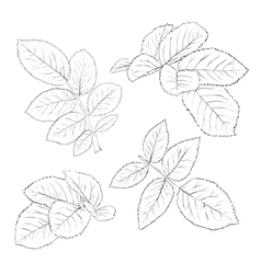black and white rose leaves isolated on white vector image