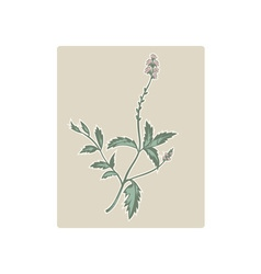 Vervain or verbena flowering plant vector