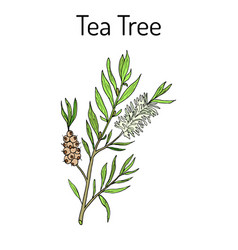 collection of tea tree cosmetics and medical vector image vector image