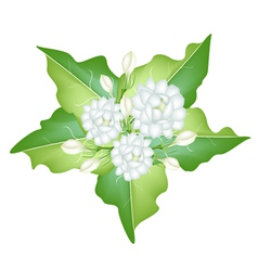 Jasmine flowers on white background vector