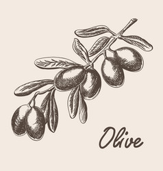 olive tree branch hand drawn in sketch style vector image vector image