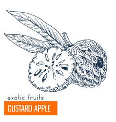 custard apple hand drawn vector image