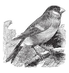 Eurasian Bullfinch vintage engraving vector image vector image