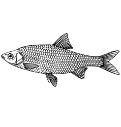 Fish common roach vector