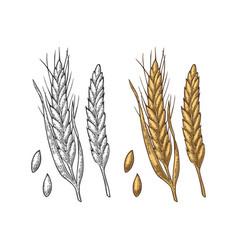ear of wheat barley and grain malt vector image vector image