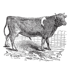 Alderney cattle vintage engraving vector