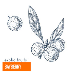 bayberry hand drawn vector image vector image