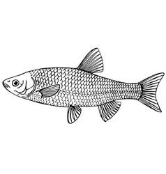 fish european chub vector image vector image
