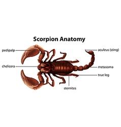 Scorpion anatomy vector