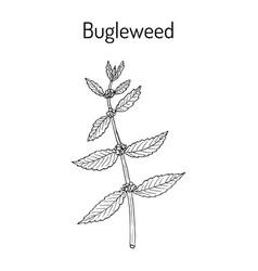 Bugleweed lycopus europaeus or gypsywort water vector