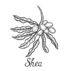 Shea nuts plant vector