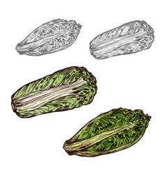 Chinese cabbage sketch vegetable icon vector