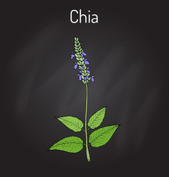 Chia salvia hispanica healthy superfood vector