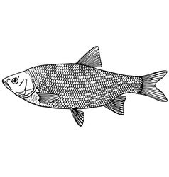 fish ide orfe vector image vector image