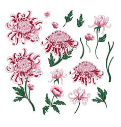 set of botanical flowers chrysanthemum vector image vector image