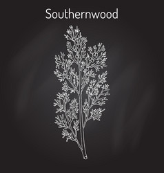 Southernwood artemisia abrotanum or lad s love vector
