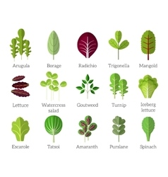 Salad ingredients leafy vegetables flat vector