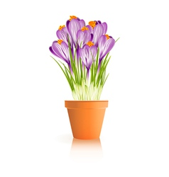 Pot Crocuses white vector image vector image