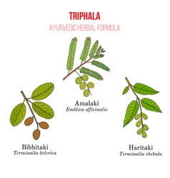 Best ayurvedic herbal remedy formulation triphala vector