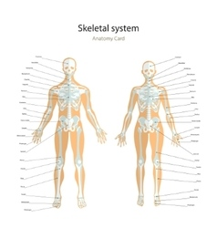 Anatomy guide male and female skeleton with vector