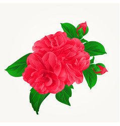 Camellia japonica red flowers with buds vintage vector