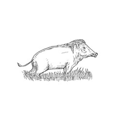 Wild boar or pig vector