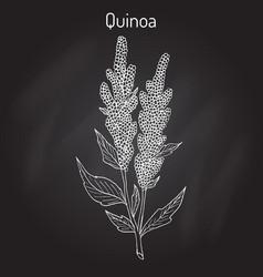 Quinoa chenopodium quinoa superfood healthy plant vector