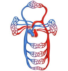 Circulatory system vector