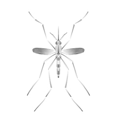 Fever mosquito species aedes aegyti isolated on vector